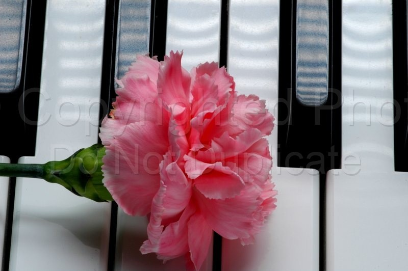 Stock Shots - Tom Warner Photography piano, keyboard, music, musical, flower, carnation,