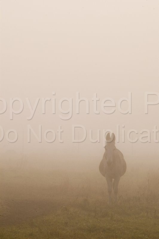 Scapes - Tom Warner Photography mule, animals, animal, farm, fog, misty, morning